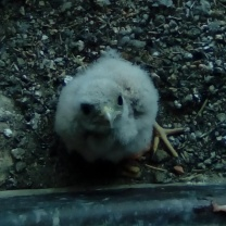 kestrel baby 4 weeks2