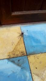 Huntsman spider, Eusparassus dufouri