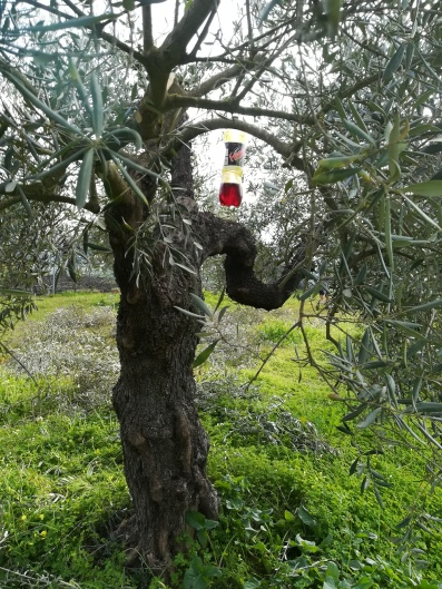 hang into the olive tree